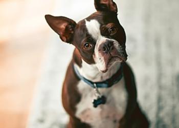 Psychologie canine|et idées reçues